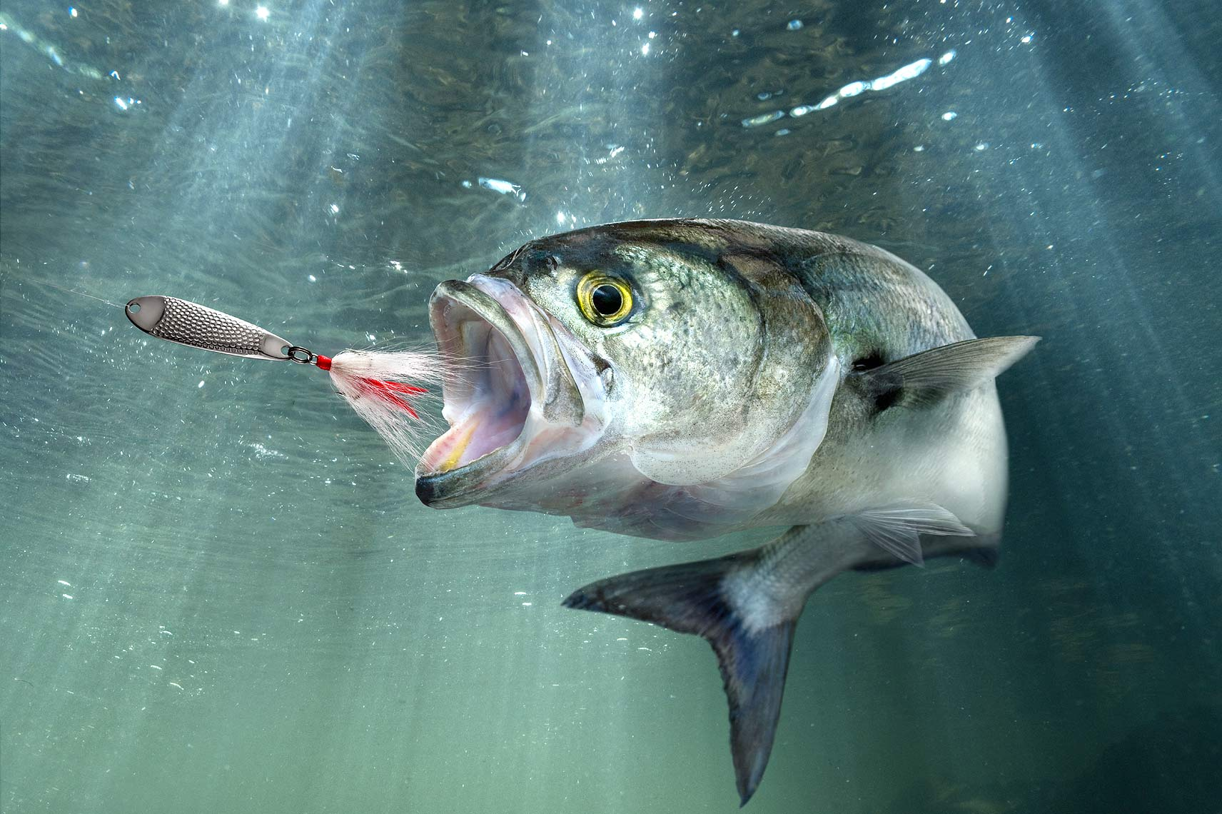 Bluefish chasing metal lure by John Kuczala