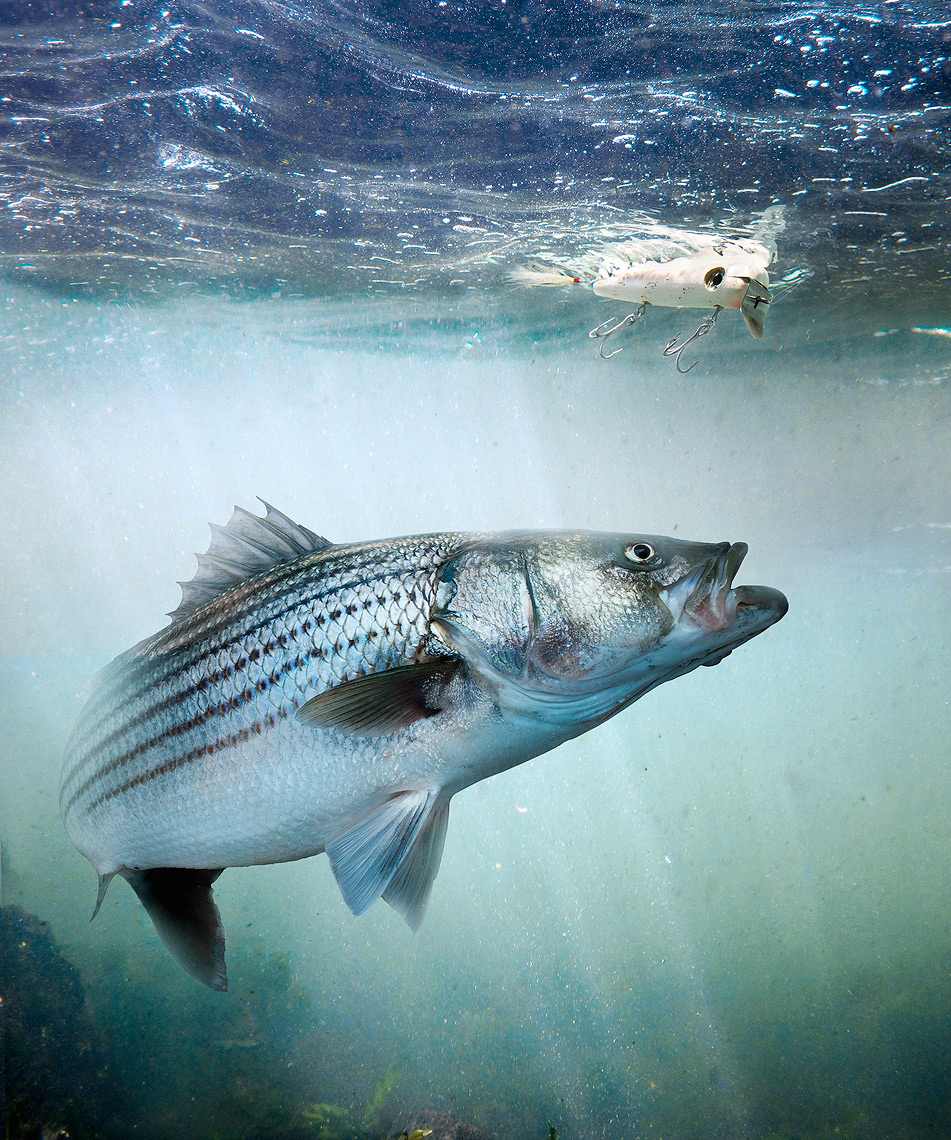 Striped Bass, or striper following metal lipped swimming lure by John Kuczala