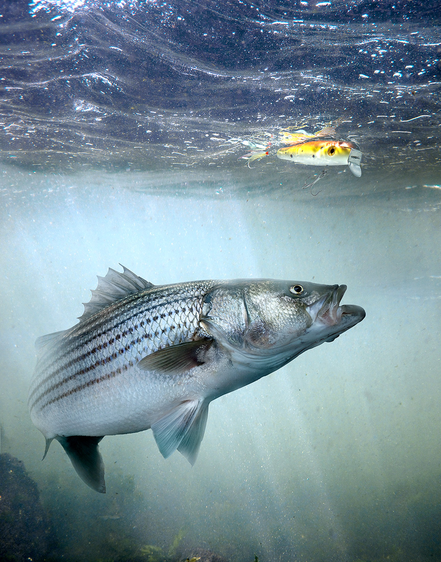 Striped_Bass_Scabellys_FOMP
