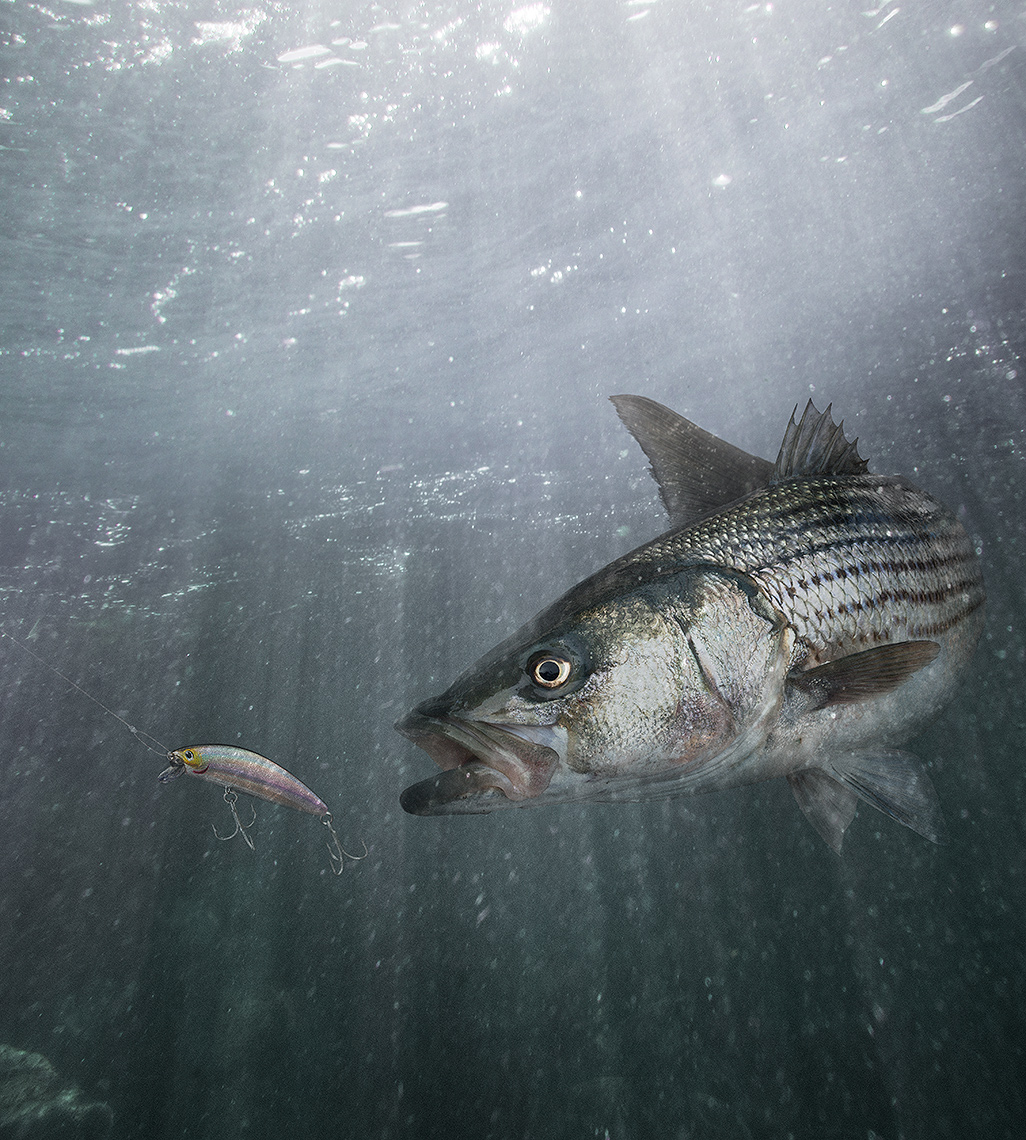 Striped bass, striper chasing Daiwa SP Minnow lure by Joh Kuczala